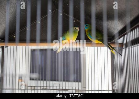 Deux Perroquets dans la cage, oiseaux, animaux domestiques amour coloré Banque D'Images