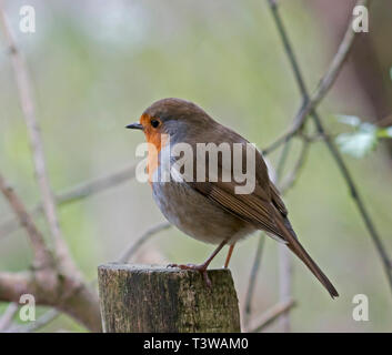 Erithacus rubecula aux abords, Robin, Banque D'Images