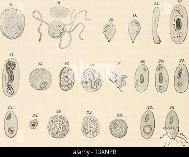 Image d'archive à partir de la page 131 de Die Protozoen als Krankheitserreger des