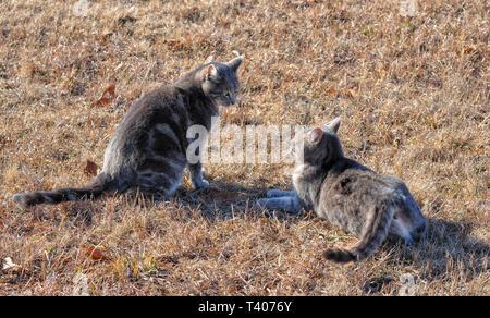 Deux bleu tabby cats prête à s'engager dans un combat, jouer sur l'herbe sèche de l'hiver Banque D'Images