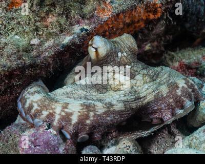 Poulpe poulpe commun la chasse sur les récifs coralliens Banque D'Images