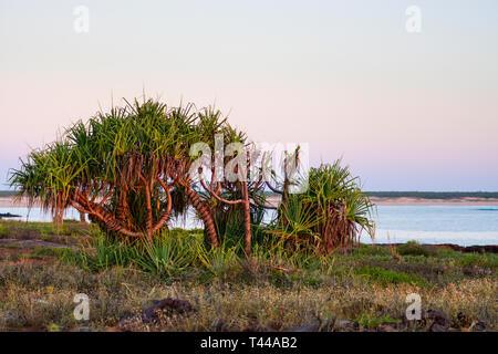 (Screwpine Pandanus tectorius) au coucher du soleil, au lagon, Cape Leveque, péninsule Dampier Australie Occidentale Banque D'Images