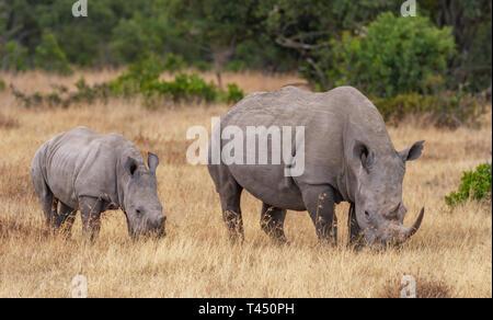 Mère et bébé rhinocéros blanc Ceratotherium simum, veau, le pâturage l'herbe sèche. Ol Pejeta Conservancy, Kenya, Afrique de l'Est. Cinq grands animaux de safari Banque D'Images