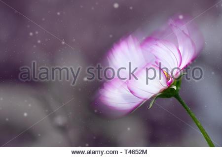 Abstract fleur avec pétales violet et blanc sur fond sombre entouré par la poussière. Banque D'Images