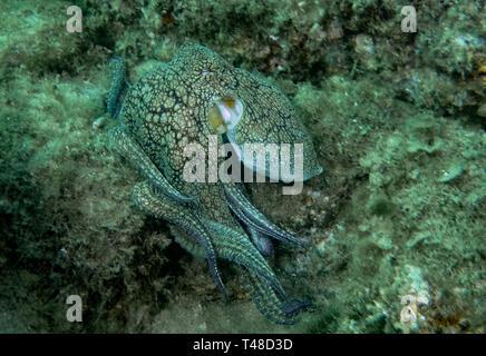 Poulpe commun (Octopus vulgaris) Banque D'Images