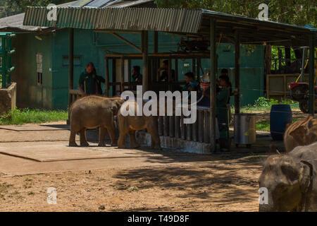 Bébé éléphants Sri-lankais d'être nourris à l'éléphant Accueil de transit. Le Sri Lanka. Banque D'Images