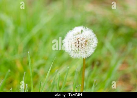 Taraxacum officinale, le pissenlit le pissenlit, seedhead réveil au printemps. Dorset, Royaume-Uni
