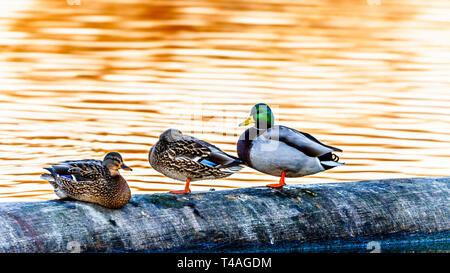 Les Canards colverts au coucher du soleil dans une lagune dans le refuge d'oiseaux de l'Reifel la réserve nationale de faune sur Westham Island près de Ladner en C.-B., Canada Banque D'Images