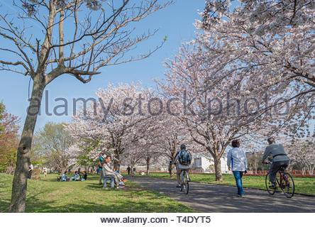 Kashiwa, Chiba, Japon - 6 Avril, 2019: profitez du printemps les cerisiers en fleurs le long du chemin à Kashiwa, le Japon. Banque D'Images