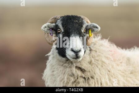Brebis Swaledale (ovins) dans les vallées du Yorkshire, England, UK face à l'avant. arrière-plan flou. Paysage. L'horizontale. L'espace pour copier Banque D'Images