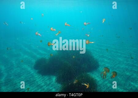 De méduses sous l'eau à la mer Méditerranée, mauves Pelagia noctiluca stinger, Espagne