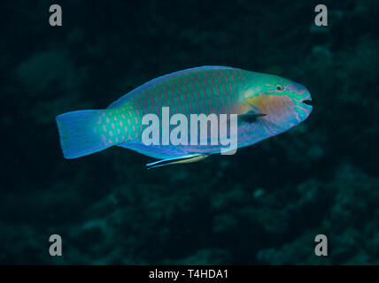 Rusty, perroquet Scarus ferrugineus, avec cleaner wrasse sur coral reef, Red Sea, Egypt Banque D'Images