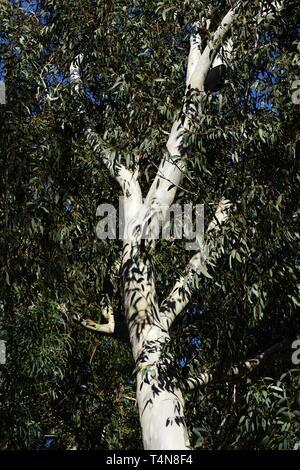 White tronc et branches d'Eucalyptus Banque D'Images