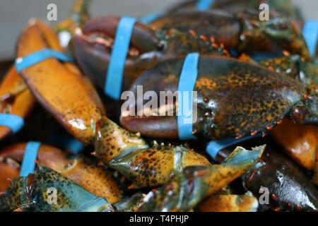 Pince de homard canadien avec bande élastique Banque D'Images