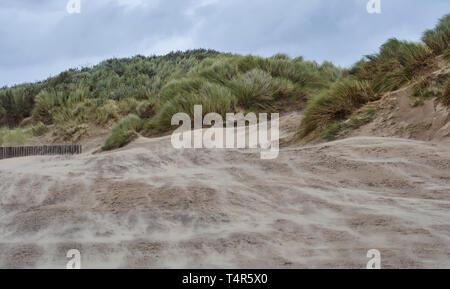 Souffle sur le sable plage de Cefn Sidan, et dans l'ammophile couverts des dunes côtières sur une journée venteuse étés dans le sud du Pays de Galles. Banque D'Images
