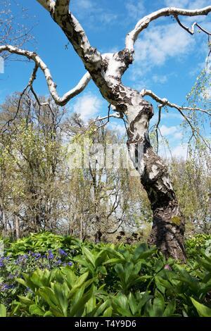 Youngii Betula pendula Bouleau pleureur de Young, arbre, à l'Oregon Garden à Silverton, Oregon, USA. Banque D'Images