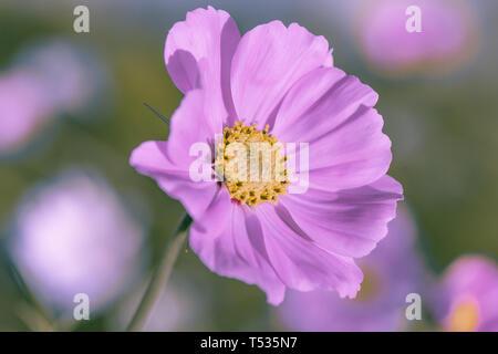 Rose délicate fleur daisy cosme sur un magnifique arrière-plan. Copier l'espace. Banque D'Images