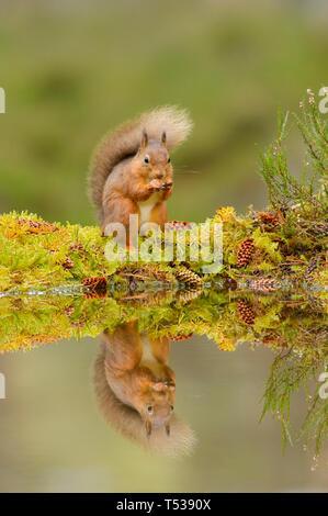L'écureuil roux (Sciurus vulgaris) Black Isle, Ecosse, Royaume-Uni. Octobre 2015