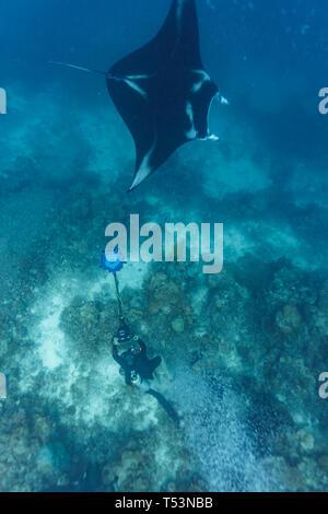 Gros plan de l'accueil d'un géant oceanic raie manta, Manta birostris, nager au-dessus de la barrière de corail avec un camerman filmer avec une caméra 3D pour les Banque D'Images