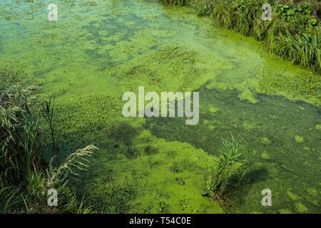 Avec de l'eau d'algues bleues dans la rivière polluée Banque D'Images
