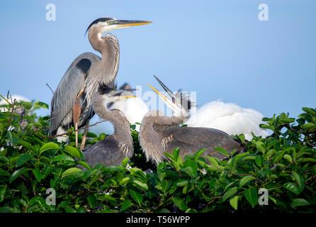 Un adulte grand héron (Ardea herodias) avec deux jeunes dans un nid. Photo prise dans le sud de la Floride. Banque D'Images