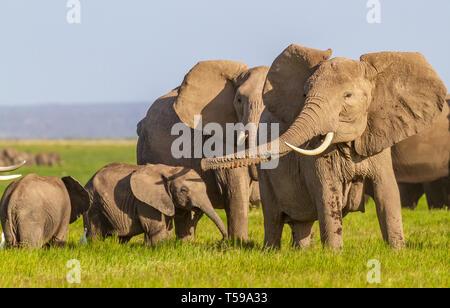 Famille des éléphants d'Afrique avec deux jeunes veaux. Mère dépasse le tronc et fait le son de trompette tout en lui faisant des coups d'oreilles. Troupeau dans le parc national d'Amboseli, Kenya
