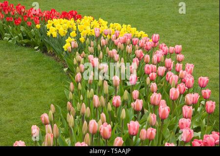 Mount Vernon, Washington, USA. Ligne incurvée de tulipes et de jonquilles, avec premier plan: Impression Rose Tulipe; milieu: valeur Standard jonquilles; arrière: R