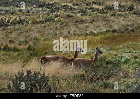Guanacos (Lama guanicoe), NP Torres del Paine, Chili