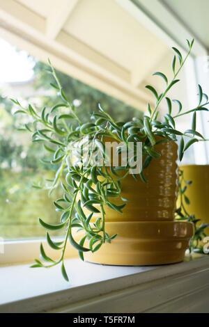 Senecio radicans - chaîne de bananes - plante dans un pot jaune sur un rebord de fenêtre. Banque D'Images