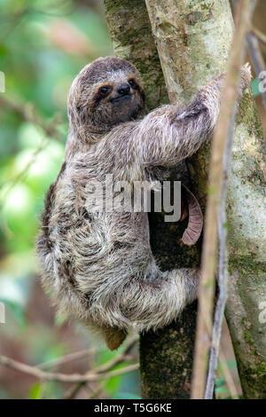Juvenile Brown-throated sloth (Bradypus variegatus) ou trois-toed Sloth - Parc National Manuel Antonio - Quepos, Costa Rica Banque D'Images