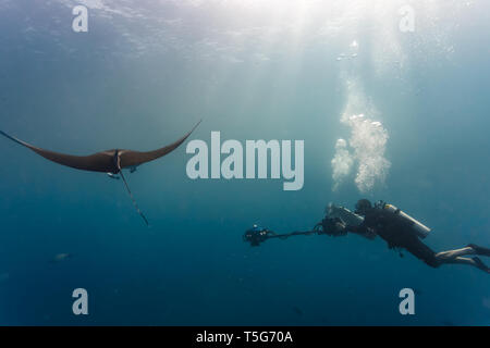 Vue côté gros plan d'action en tant que plongeur caméraman films raie manta géante avec caméra 3D Banque D'Images