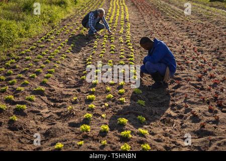 Les cadres supérieurs, agriculteur et son partenaire l'examen dans le domaine de l'usine de radis Banque D'Images