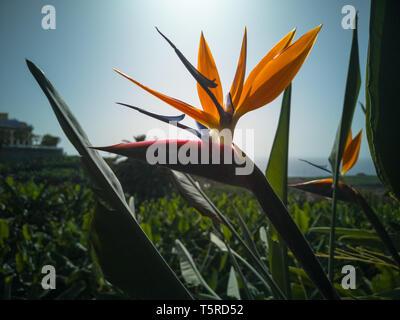 Strelitzia reginae une fleur exotique à La Palma. Banque D'Images