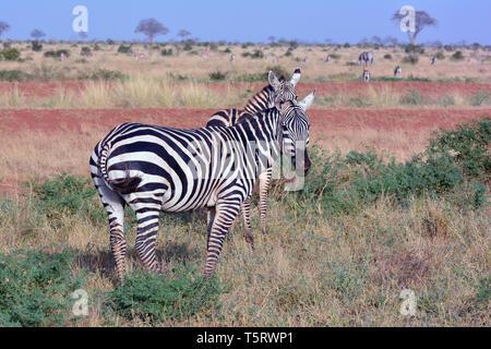 Zèbre des plaines ou zèbre commun, le zèbre de Burchell, Steppenzebra, Equus quagga burchellii, Equus zebra alföldi, Banque D'Images
