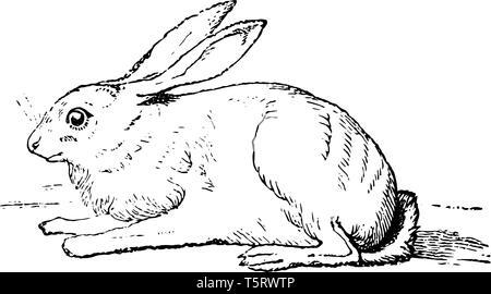 Illustration De Lapin Dessin Gravure Dessin Au Trait