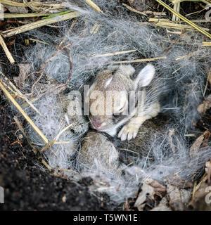 Baby bunny, lapin dans un nid, au Manitoba, Canada.