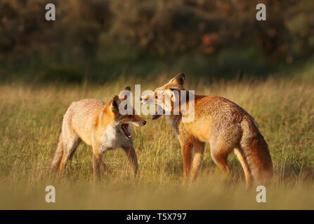 Close up of two red fox (Vulpes vulpes) louveteaux jouer-combats dans la prairie. Banque D'Images