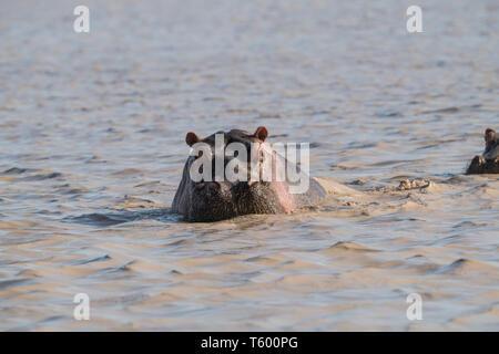 Hippo dans l'eau, lac Masek, Tanzanie Banque D'Images