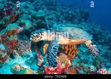 La tortue imbriquée (Eretmochelys imbricata) est une tortue de mer Banque D'Images