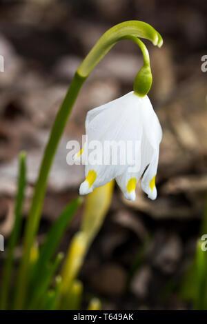 Flocon de neige de printemps Leucojum vernum] [