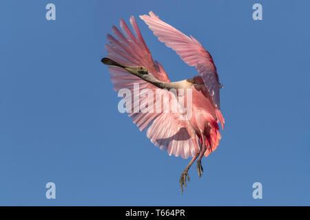 Roseate Spoonbill, Platalea ajaja, adulte en vol Floride Avril Banque D'Images