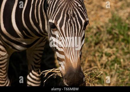 Au pâturage Zebra Plains Zoo Taronga Western, Dubbo, New South Wales, Australie Banque D'Images