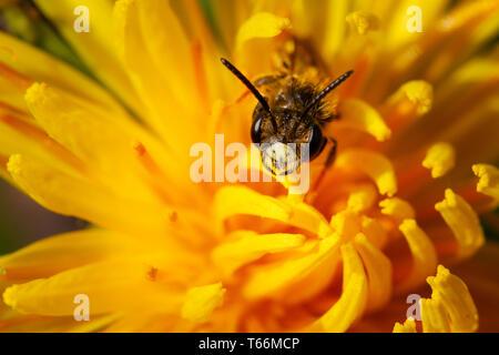 Royaume-uni: la faune macro photo d'une exploitation minière d'aubépine chrysosceles Andrena (BEE) sur l'extérieur du centre d'une fleur de pissenlit sur une journée ensoleillée Banque D'Images