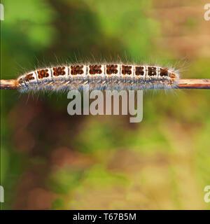 Big belle forêt caterpillar sur rameau. Banque D'Images