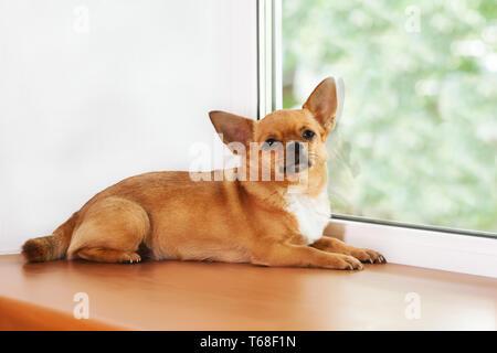 Chien chihuahua rouge se trouve sur la fenêtre à fenêtre. Banque D'Images