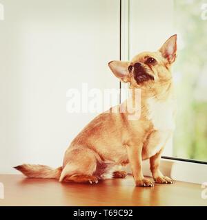 Chien Chihuahua rouge debout sur un rebord de fenêtre. Banque D'Images