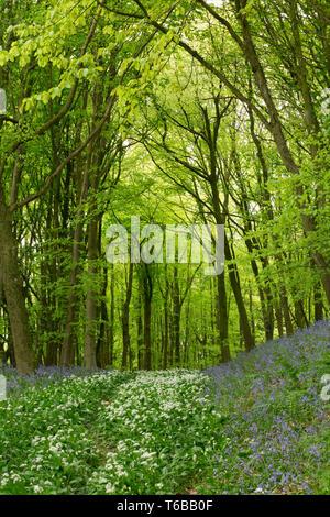 L'ail des ours, Allium ursinum, jacinthes et de plus en forêt mixte, les bois avec principalement le frêne, le chêne et noisetiers et quelques sapins. Au nord Banque D'Images