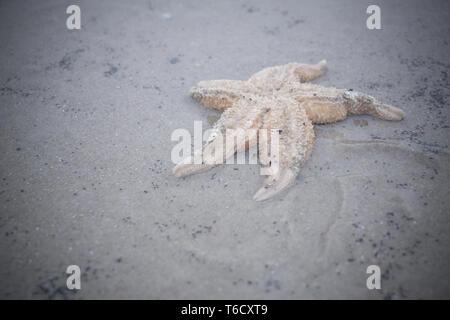 Seestern am Strand / sea star on beach