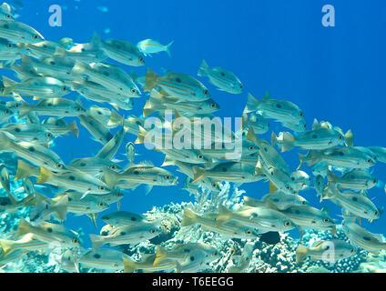 L'École d'bluestripe bluestripe snapper poisson, la perche de mer ou bleu-line ( snapper Lutjanus kasmira) et les amis de coraux sur Kri, Raja Ampat Banque D'Images