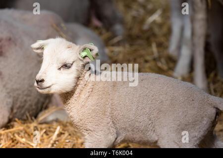 Adorable petit agneau dans la bergerie Banque D'Images